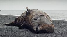 Olimpijskie obiekty wytrują delfiny w Morzu Czarnym