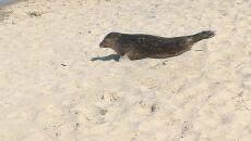 Foka na plaży w Międzyzdrojach (Marek Oto/Kontakt 24)